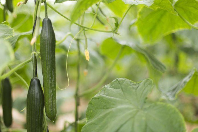 La UAL determina las cantidades de fertilizante nitrogenado que optimizan la producción de pepino y reducen pérdidas ambientales