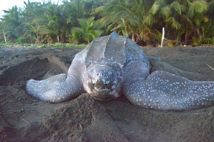 La UAL advierte sobre el efecto del cambio climático en la extinción de las tortugas marinas tras millones de años en los océanos