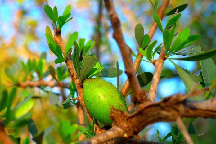 La UAL ensaya la obtención sostenible de aceite de argán como paso previo a su implantación como cultivo en Almería